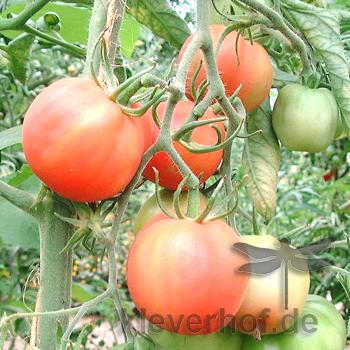 Rote Tomatenraritäten mit Geschmack