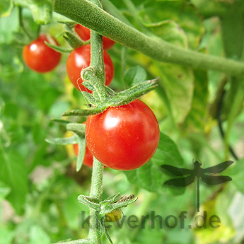 Sweet Pea Current, wilde Tomaten