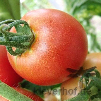 Tafelfreude, grosse Früchte