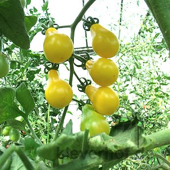 Gelbe Tomatensorte in Birnenform