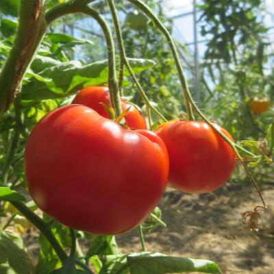 Roter Liebesapfel mit außergewöhnlichem Geschmack