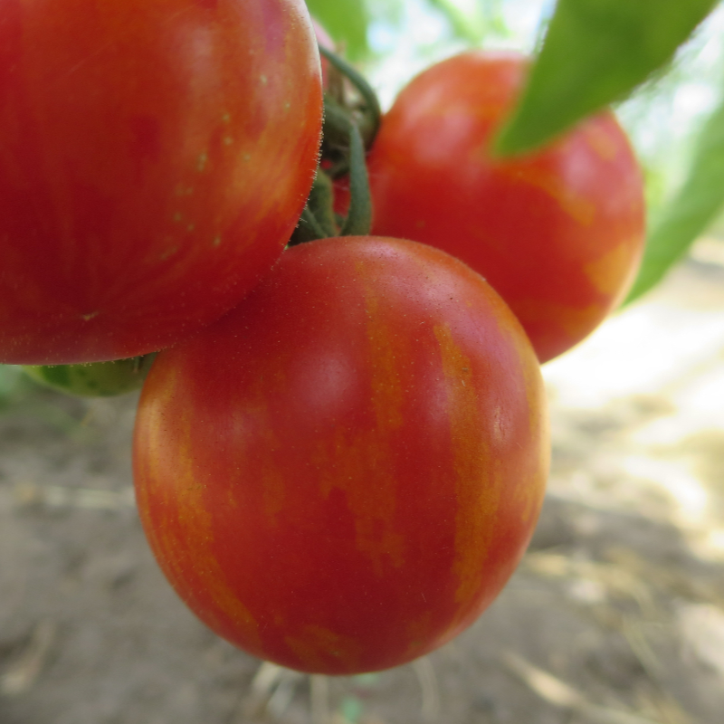 Tomatensaatgut Amur Tiger, mittelgrosse Früchte