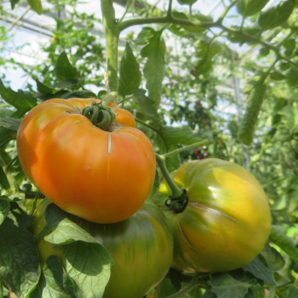 Gelb/Orange Tomatenfrucht mit schönem Geschmack