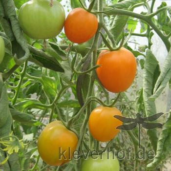 Auriga, klein bis mittelgrosse Früchte