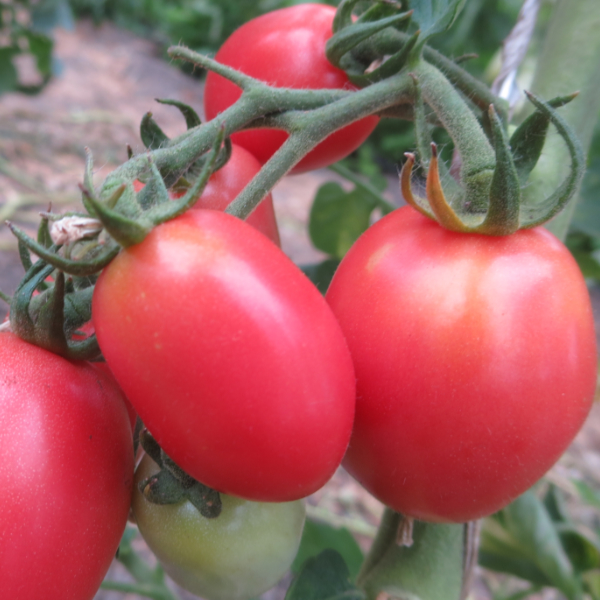 Rot/Pinke Geschmackvolle Bio Tomate