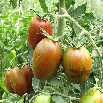Tigrella nero, mehrfarbig-gestreifte Früchte
