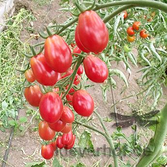 Rote Cherry Bio Tomatensorte
