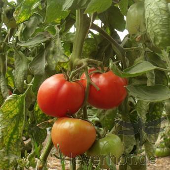 New Hampshire Surecrop, grosse Früchte