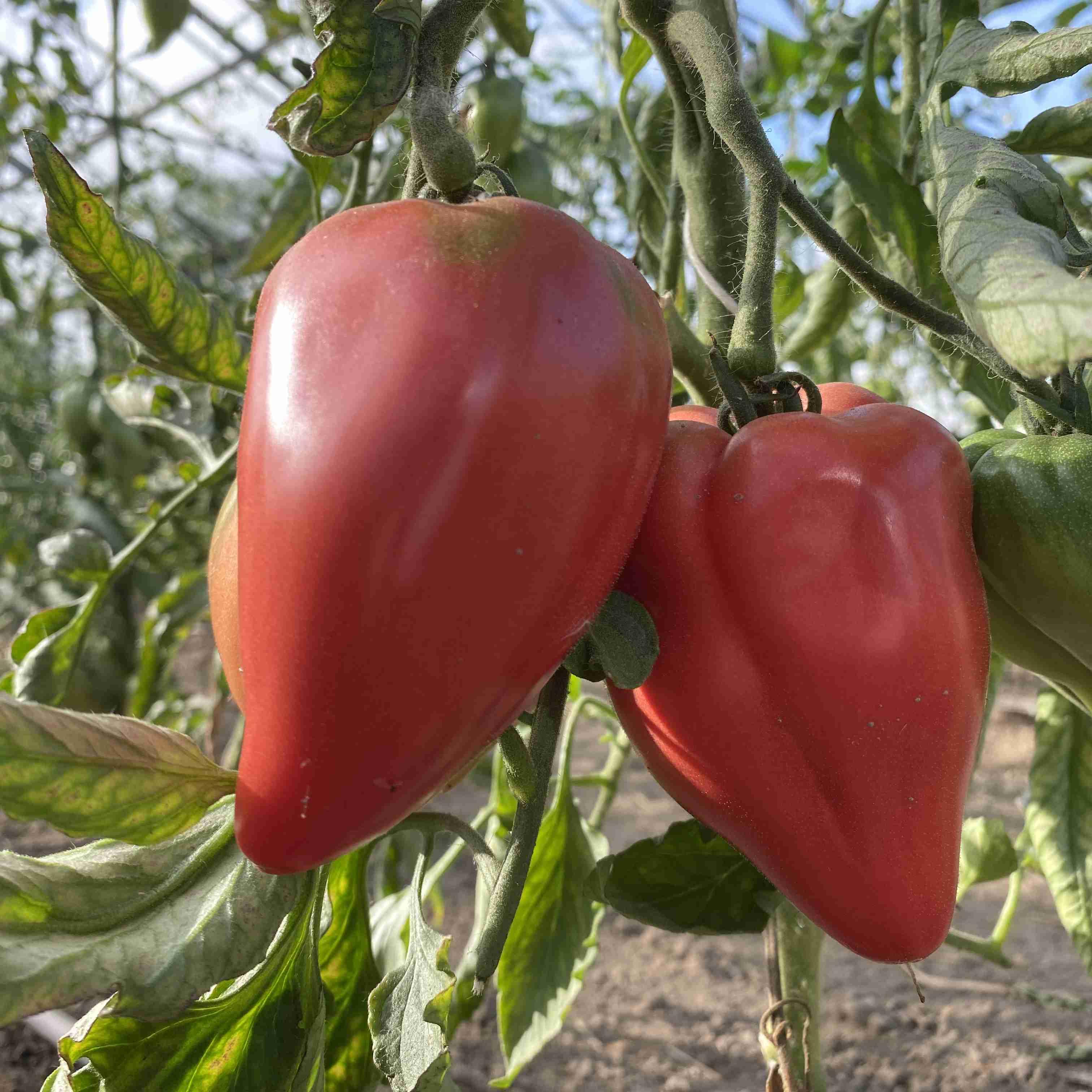 Tomatensaatgut Cœur de Bœuf Akers