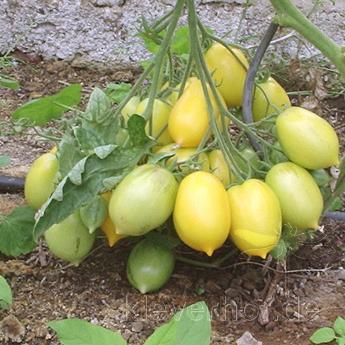 Tomatensaatgut Venusbrüstchen