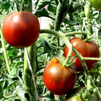 Braune und Rote Tomatenvielfat