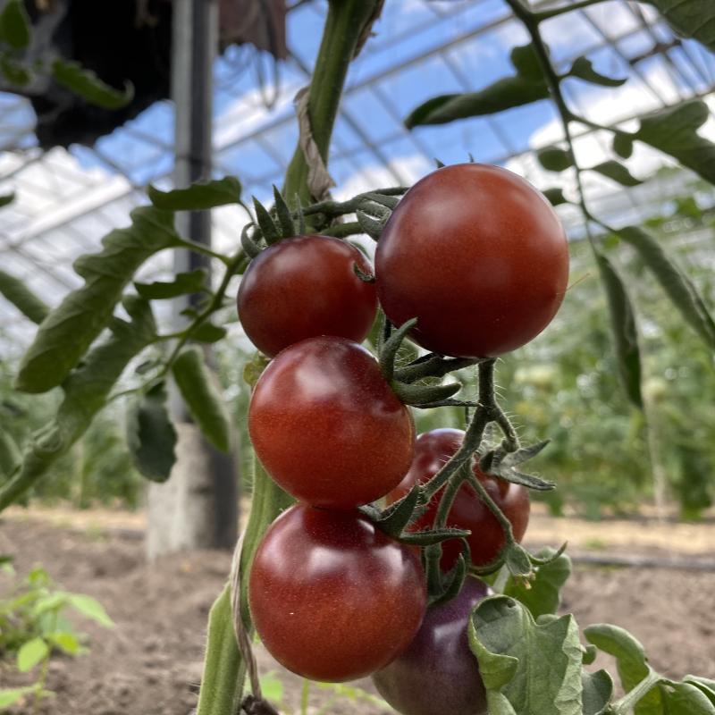 glänzende violette tomate