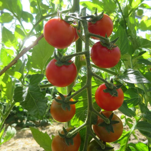 Tomatensaatgut Idyll