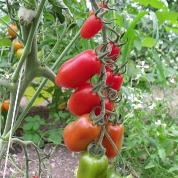 Tomatensaatgut Tropical Ruby, kleine Früchte
