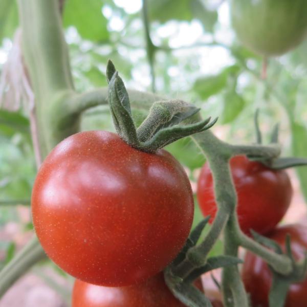 Rote Cherry Tomatenfrucht mit Geschmack