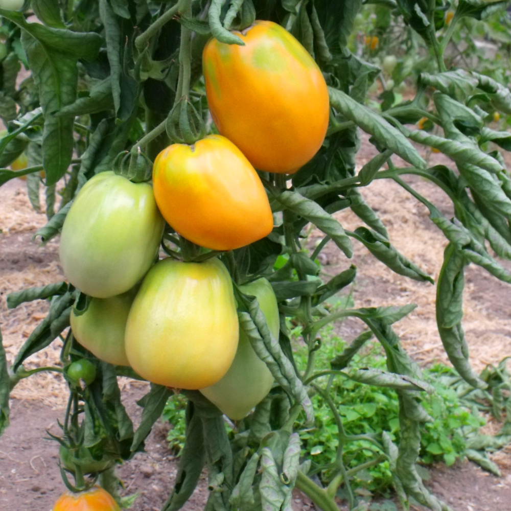 Herzförmige Tomatenfrucht