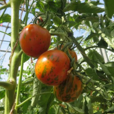 Tomatensaatgut Ania, kleine Früchte