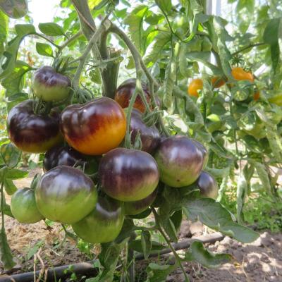 Tomatensaatgut Blue Gold, grosse Früchte