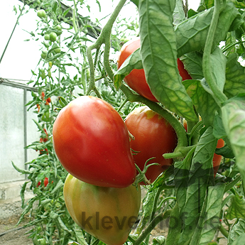 Rote Bio Tomatenfrucht in Herzform
