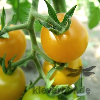 Gelbe Cherry Tomatensorte mit außergewöhnlichem Geschmack