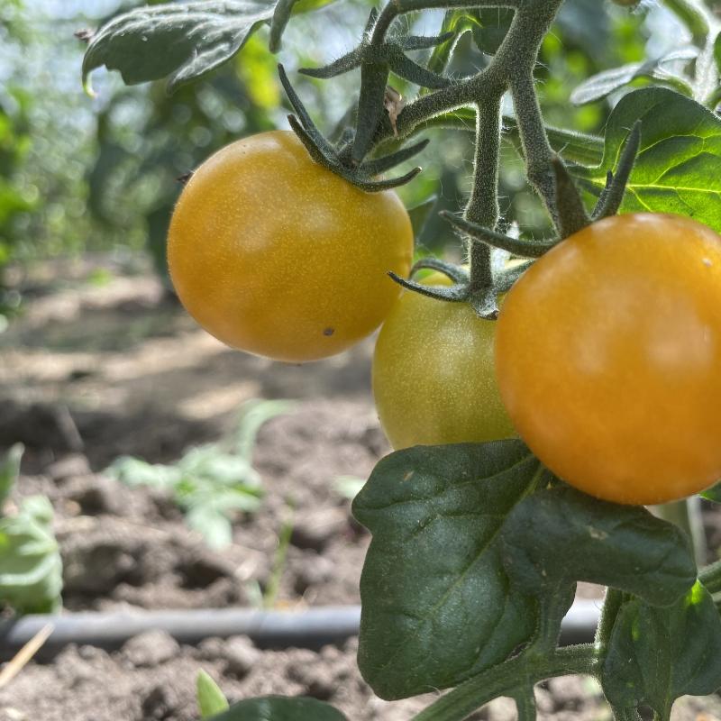 Tomatensaatgut Goldiana, kleine Früchte