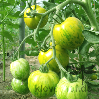 Grün gestreifte bio Tomatenfrucht mit Geschmack