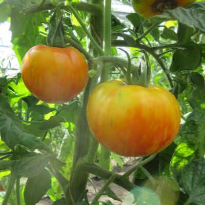 Beauty Queen, mehrfarbig-gestreifte Früchte