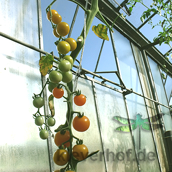 Tomatensaatgut Bolivian Obst Orange
